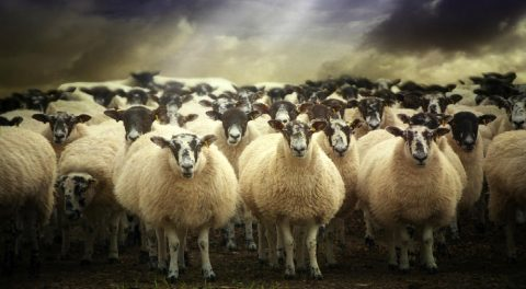 The American People are Sheep being Led to Slaughter