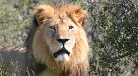 Game Warden Who Helped Dentist Kill Cecil the Lion Escapes Charges!
