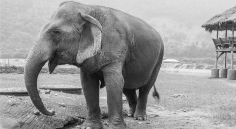 Tortured Elephant Cried Real Tears When Rescued