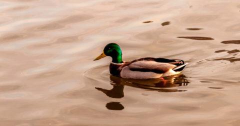 If it Quacks Like a Duck