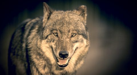 Wild Wolves Represented in Minnesota Court Battle