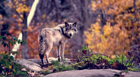 Howling for Wolves Condemns Wildlife Killing Contests